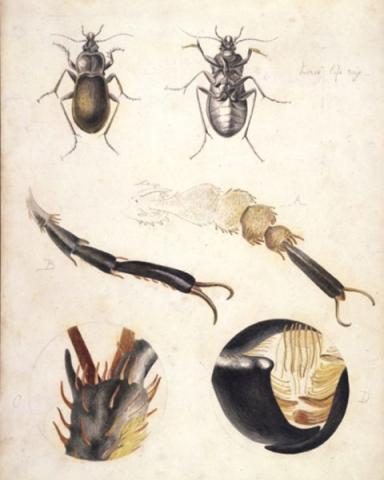 beatrix_potter_ground_beetle